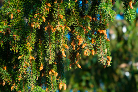 Close-up Fir branches with many cones, winter. Christmas, Happy new year. Natural background, trendy green colors