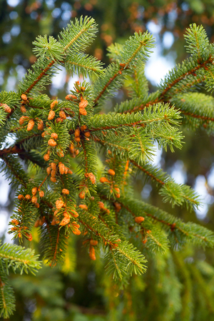 Young cones on a branches of spruce on the sky background.