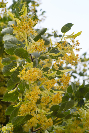 linden branches at the beginning of flowering against the sky
