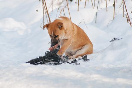 Dog eating a caught bird Stock Photo