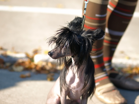 Chinese Crested Dog portrait