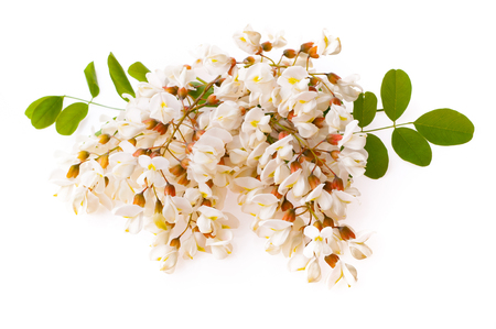 Branch of white acacia flowers isolated on white