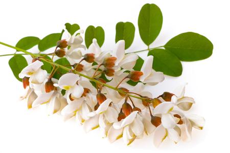 Acacia flowers isolated on white background Stock Photo