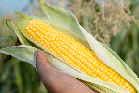 Corn in farmer hands on field background Stock Photo