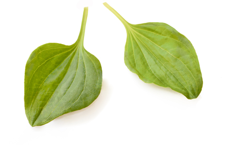 Green leaves of Plantago major (Broad-leaf Plantain, white Mans Foot, or Greater Plantain). Isolated on a White Background