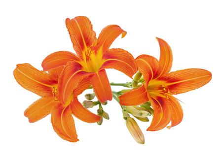 orange daylily with bud isolated on white Stock Photo