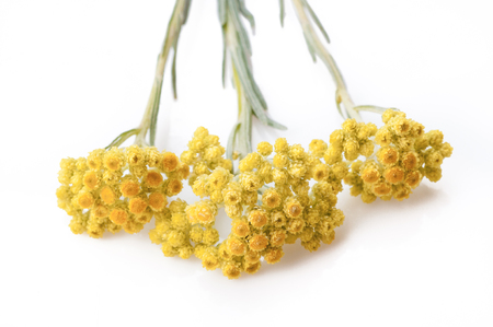 helichrysum arenarium isolated on white. Top view