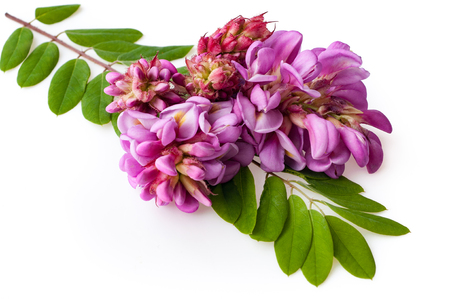 pink acacia flowers with leaves on white background