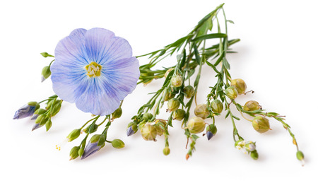 Flower and capsules with seed flax (Linum usitatissimum) common names common flax or linseed on a white background with space for text. Zdjęcie Seryjne