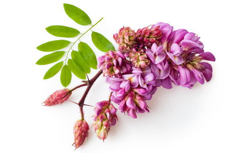 Pink acacia with leaves isolated. Blossoming branch. Pink flowers on a white background.
