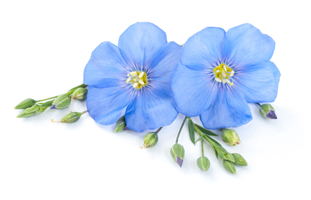 Flax flowers with seeds closeup isolated on white Stock Photo