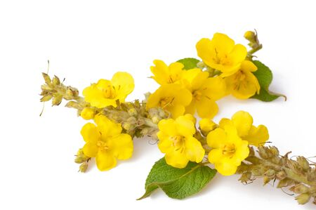 Close up of the flowers of Verbascum thapsus (great mullein or common mullein) isolated