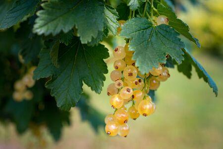 branch of ripe white currant closeup. Harvest Useful berry Фото со стока