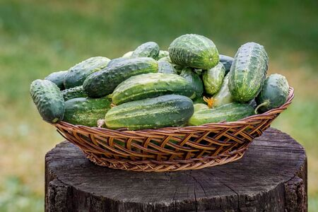 Green tasty cucumbers in a wicker basket and on a wooden table. Harvest of cucumbers