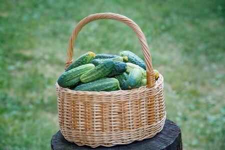 Basket with cucumbers. Summer harvest. Blanks for the winter. Basket of vegetables. Fresh cucumbers