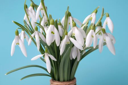 Beautiful bouquet of snowdrops on the table on a blue background. The concept of a winter end. The first spring flowers. Фото со стока
