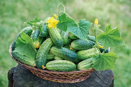 Fresh cucumbers in a basket on a wooden table in the background of the garden