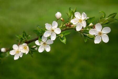 branch of blooming cherry on a green garden background Фото со стока