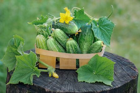 Fresh cucumbers in a basket on natural background