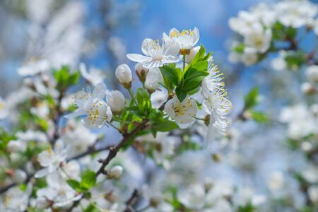 Flowering cherries in the spring. Flowers of cherry against the background of blue spring sky. White flowers blooming on branch. Фото со стока