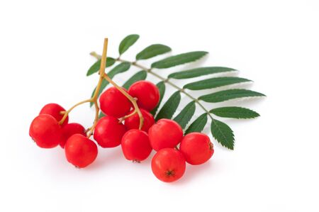 leaves and rowan berries,  isolated on white background.