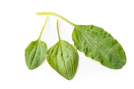 leaves of plantain isolated