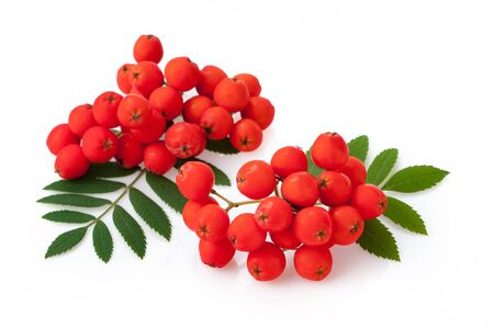 Rowan berries, Sorbus aucuparia. Close up detail of the red cluster of fruit isolated on white 版權商用圖片