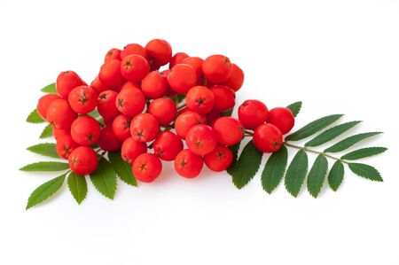 Red rowan berries and leaves, isolated on white background Фото со стока
