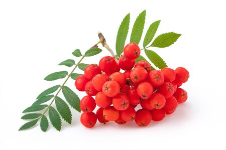 Rowan berry against white background Фото со стока