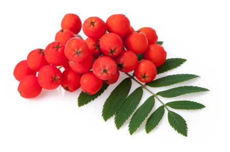 Red ripe bunch of rowan with green rowan leaves isolated on white background Фото со стока
