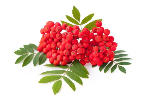 Rowan red berries and a sheet isolated on white background Фото со стока