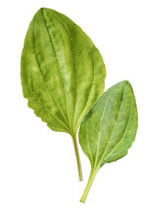 Fresh washed green leaves of plantain (Plantago major) medicinal plant Фото со стока