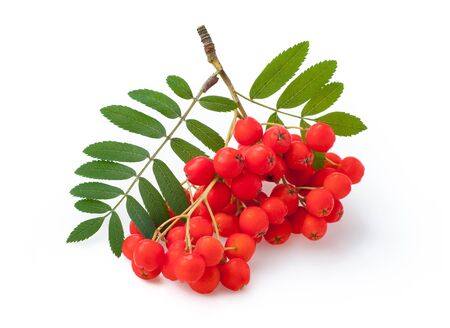 Red ripe bunch of rowan with green rowan leaves isolated on white background Stock fotó