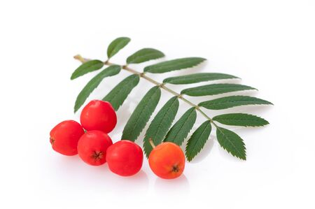 Rowan bunch red ripe berries with leaf