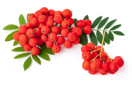 Ripe red rowan isolated on white background