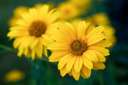 Yellow flowers in garden. Coreopsis. Summer flowers.