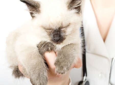 veterinarian holding  fluffy little kitten Stock Photo