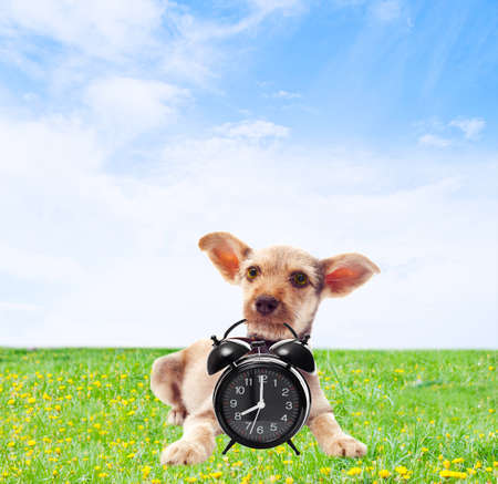 on the green lawn funny dog holding in teeth alarm clock Stock Photo