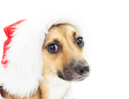 mutts: funny portrait of mutts in Christmas red Santa hats isolated on white background