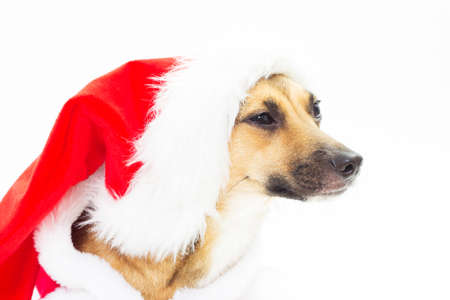 mutts: Portrait of cute mutts in red Santa hats on a white background
