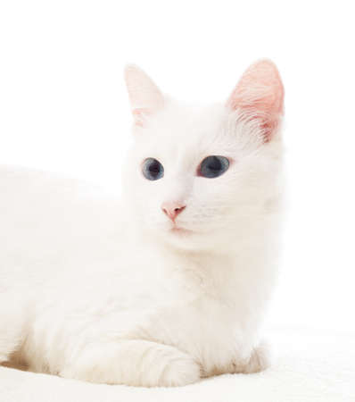 bedspread: cute white cat with blue eyes lying on white bedspread Stock Photo