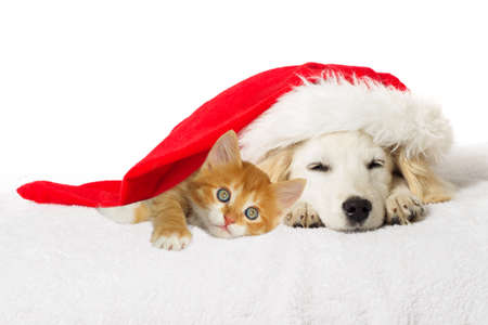 labrador christmas: Christmas labrador puppy and kitten sleeping