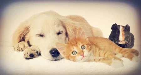 perros jugando: Perrito y gatito y conejillo de Indias Foto de archivo