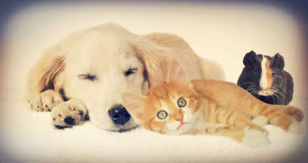 dogs playing: Puppy and kitten and guinea pig