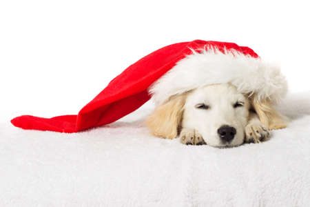 labrador christmas: Christmas labrador puppy sleeping Stock Photo