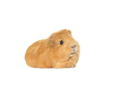 guinea: ginger guinea pig Stock Photo