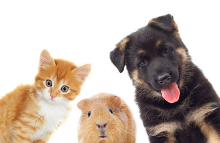 kitten and puppy and guinea pig looking, on a white background Stock Photo