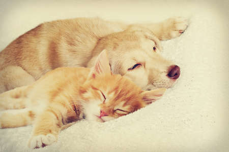 golden retriever puppy: kitten and puppy sleeping together Stock Photo