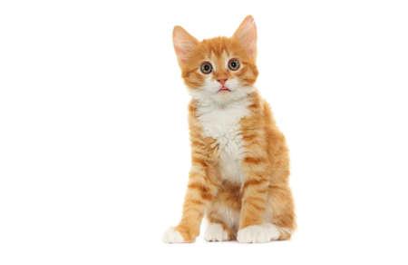 kitten small white: ginger tabby kitten looking