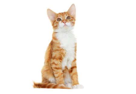 Kitten looking on white background